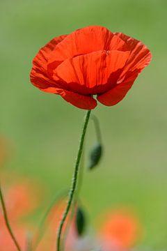 Klaprozen l Poppies l Coguelicots l  von Henriëtte Hoffs
