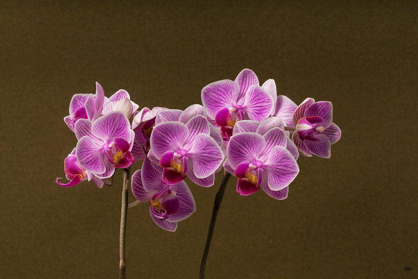 Orchidee van Lieke van Grinsven van Aarle