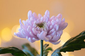 chrysanthème rose sur Tania Perneel