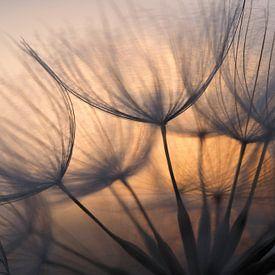 Sunrise behind dandelion. von Astrid Brouwers