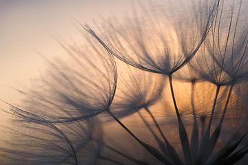 Sunrise behind dandelion. sur Astrid Brouwers