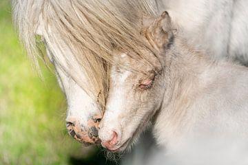 Pony-Fohlen von Jeroen Mikkers