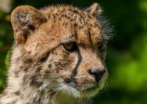 Cheeta...