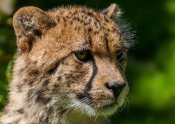 Cheeta... van