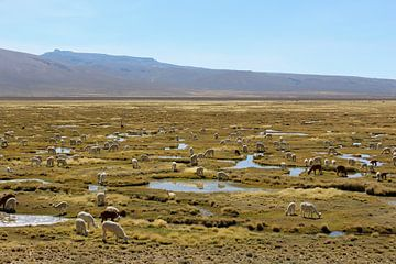 Lama's en alpaca's von Berg Photostore