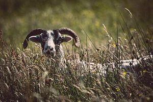 Het verlegen schaap