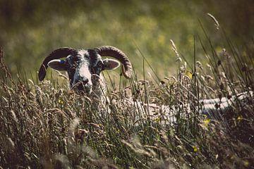 Das schüchterne Schaf von Chantal Nederstigt