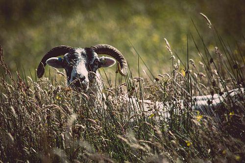 Het verlegen schaap van