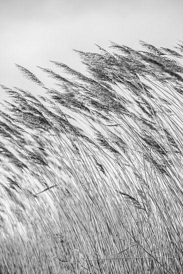 Wuivende strohalmen bij de Reeuwijkse Plassen in zwartwit 2