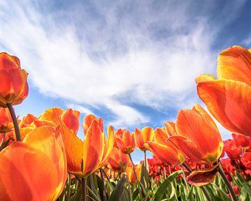 Oranje tulpen van Patrick Herzberg