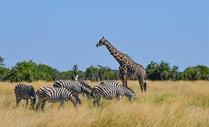 Girafs and Zebras