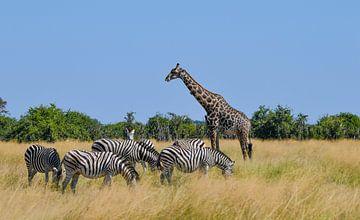 Girafs and Zebras van Robert Styppa
