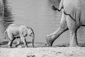 Op de voet volgen - olifanten