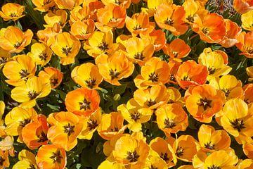 Bloeiende gele tulpen van eric van der eijk