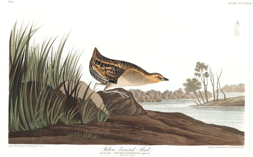 Gele Ral van Birds of America