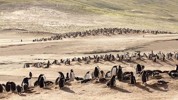 """Gentoo Penguins at """"The Neck"""" von Claudia van Zanten"""