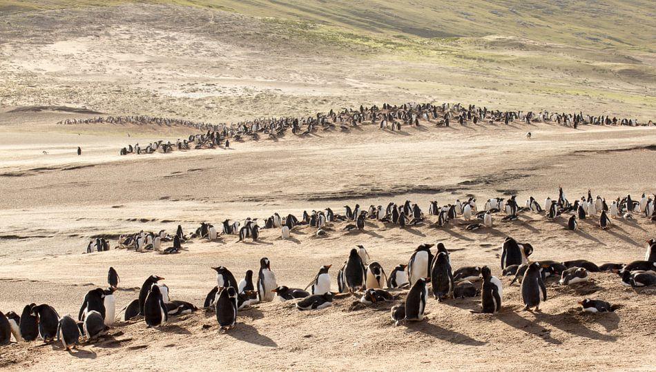 "Gentoo Penguins at ""The Neck"""