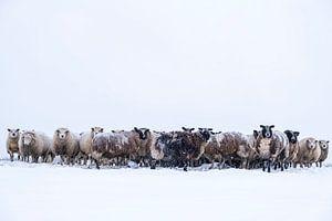 Schafherde auf einer verschneiten Wiese im Winter