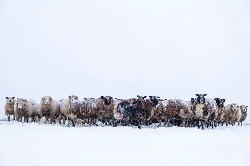 Schafherde auf einer verschneiten Wiese im Winter von Sjoerd van der Wal