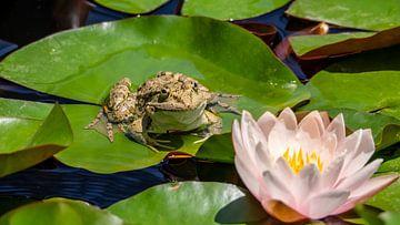 Frosch mit Lotus von Stijn Cleynhens