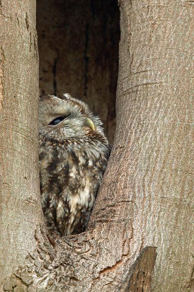 Tawny Owl ( Strix aluco )  roosting in its tree hollow van wunderbare Erde