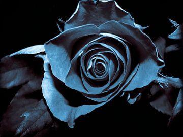 Zwarte roos von Yvon van der Wijk