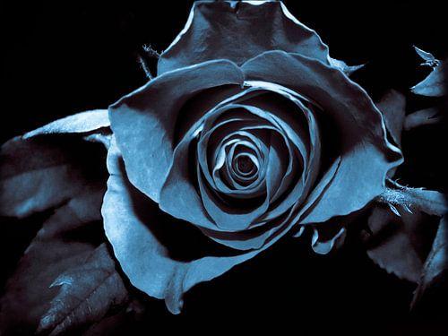 Zwarte roos van Yvon van der Wijk