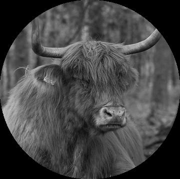 Schotse hooglander liggend in het bos van Michel Knikker