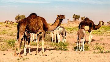 de hele famile van de kamelen te samen van Studio de Waay