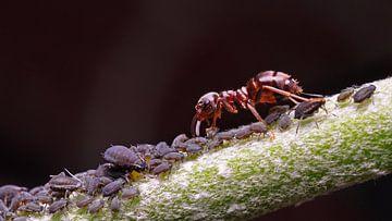 mier bewaakt zijn luizen (luizenmelken) sur Mark Verhagen