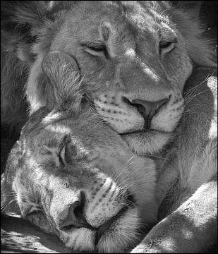 schlafende Löwen von Ed Dorrestein