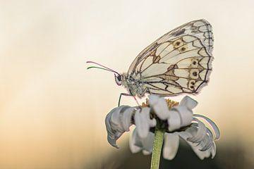 Papillon sur Hennie Zeij