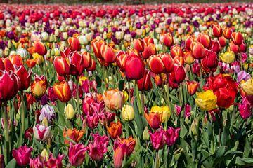 tulpen in de bollenstreek van Hélène Wiesenhaan