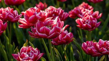 Rot-weiße Tulpen von Studio de Waay