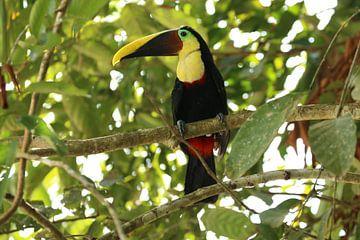Toekan Costa Rica von Ralph van Leuveren