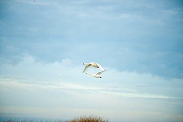 Zwanen vliegend in de lucht van Kuifje-fotografie