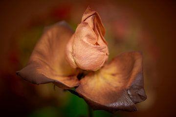 Wohlhabende Rose mit farbigem Hintergrund von Jenco van Zalk