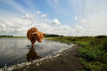 Schotse hooglander zoekt verkoeling sur