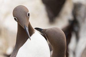 Vogels | Gebrilde zeekoet tijdens de balts 2