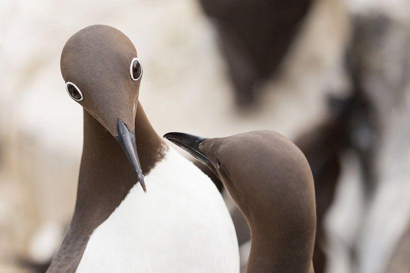 Vogels | Bijzondere ogen - gebrilde zeekoet tijdens de balts - Farne eilanden van Servan Ott