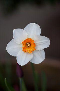 Narcis(t) von Ger Mestrum