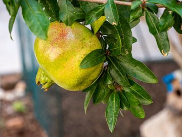 Grenade sur un arbre dans le sud sur Animaflora PicsStock