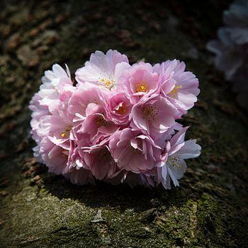 Kirschblüte von Johan Zwarthoed