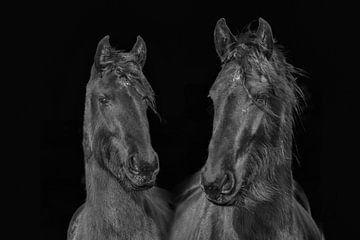 Friesenpferd, Farbe und schwarz-weiß. Friesen. von Gert Hilbink