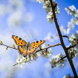 Schmetterling  an Schlehenblüten von Jürgen Schmittdiel Photography