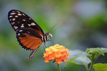 Butterfly (Tithorea tarricina) von Jos Reimering