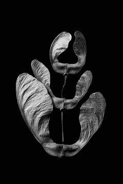 Samen von Tulpen von Lynlabiephotography