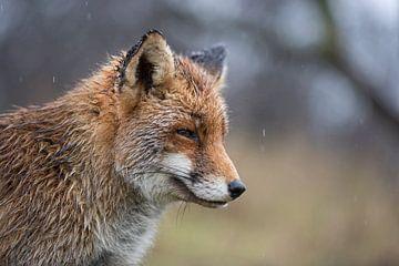 Rotfuchs ( Vulpes vulpes ) im Regen, nass bis auf die Haut, Porträt, Kopfporträt, lustiges Bild von wunderbare Erde