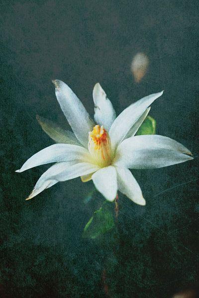 Christmas cactus bloom van Rosi Lorz