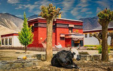 Kuh im Innenhof des Klosters, Tibet von Rietje Bulthuis